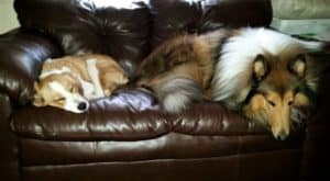 a tan and white aussie mix puppy lies curled up on a couch next to a much larger sable and white rough collie dog