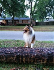 Gus, a sable and white rough collie, stands on a log showing off his lion's mane