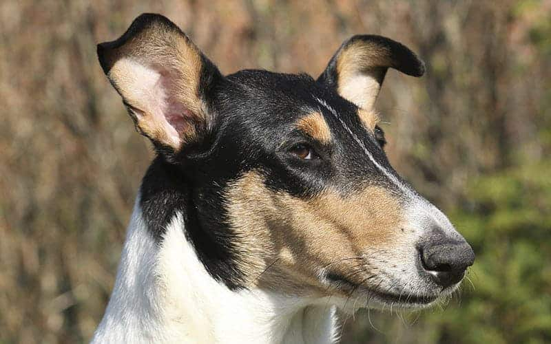 Smooth Collie Dog Drop Out