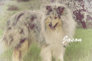 Jason, the Hero Collie
