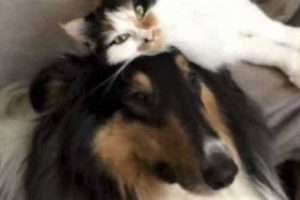The Collies Who Rescue Cats