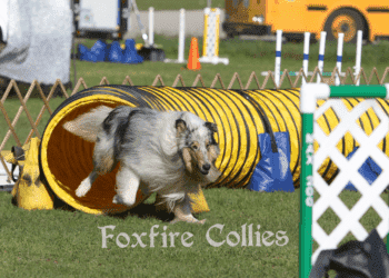 Rough Collie Agility Trial