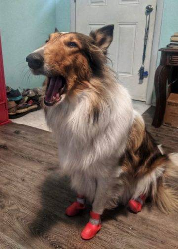 Yoshi Collie Complaining about her boots
