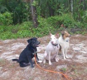 Thor a Golberian, Ajax a pit bull, and Yoshi a sable and white Rough Collie working on sit-stay