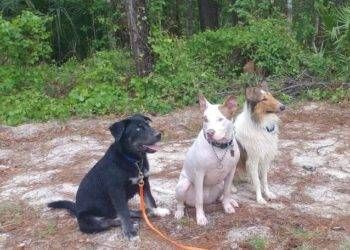 Thor, Ajax, and Yoshi working on sit-stay