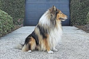 What Is A Rough Collie?