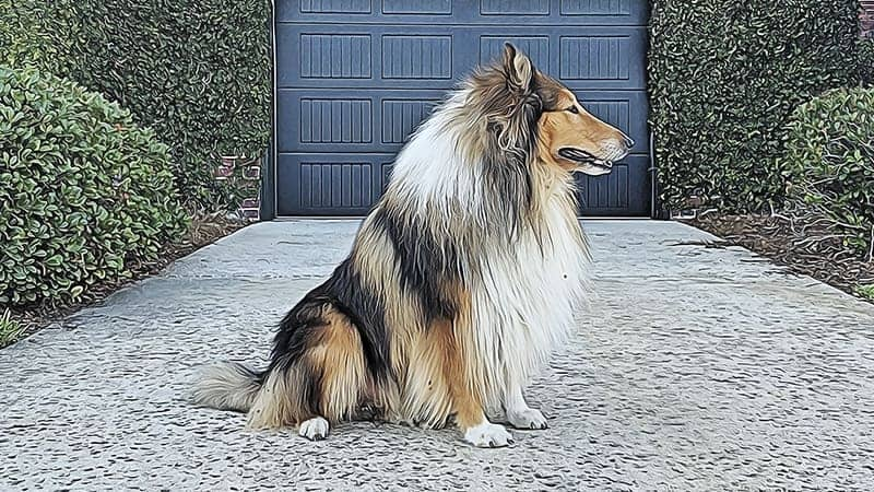 You are currently viewing What Is A Rough Collie?