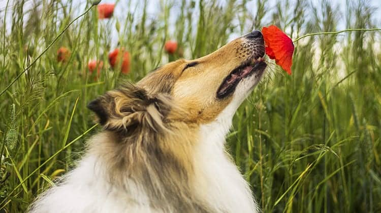 Rough collie with red poppy