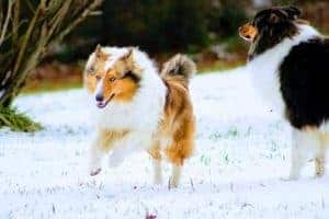 A blue-eyed sable merle romps through the snow with a gleeful expression, while a stately tricolor stands in the background gazing at the landscape.