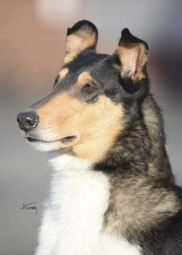 Ember Smooth Collie