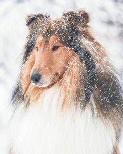 Head shot of a snow-frosted Icelandic sable and white Collie.