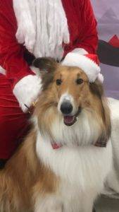 Sable and white Collie posing with Santa and wearing a Santa hat just like his hero.