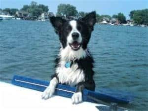 Benson the Rescue Border Collie