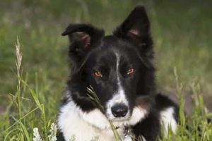 Things to Consider Before Getting A Border Collie