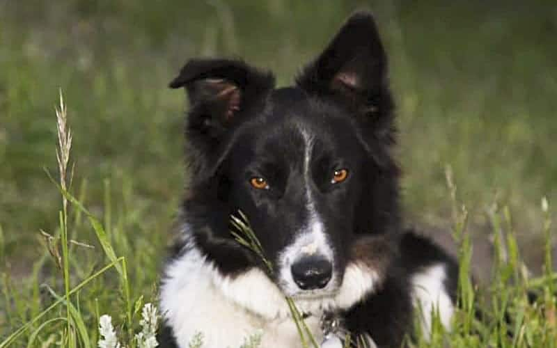 You are currently viewing Things to Consider Before Getting A Border Collie