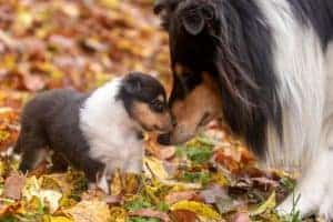 A tricolor Rough Collie mother nuzzles her tiny tricolor puppy