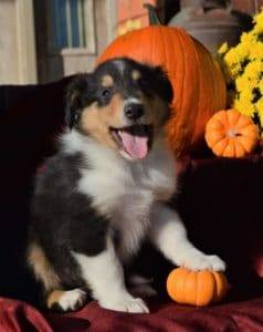Small puppy posed with his front paw on a pumpkin
