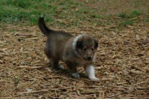 Amelia as a puppy walking on grass and woodchips