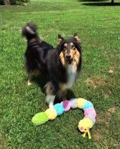 Tricolor (black, white, and tan) Collie Jake standing outside with his favorite caterpillar toy.