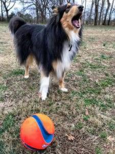 Jake, a tricolor Collie, is standing in front of his ball, barking until it is thrown.