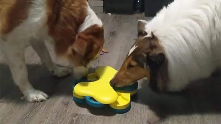 collies eating from tornado puzzle thumb