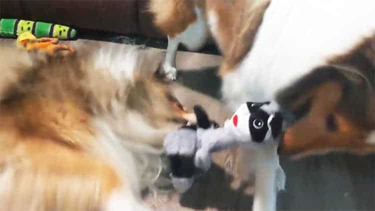 collies play with crinkle dog toy 2