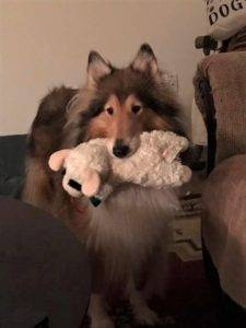 A sable and white Collie lovingly holds a Lamb Chop plush toy in her mouth.
