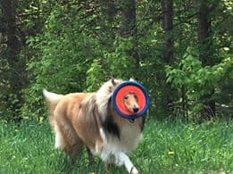 Chuckit Frisbees are a snooter-friendly toy a Collie can wear as an accessory.