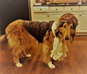 Amelia the dog cos-playing famous pilot Amelia Earhart, wearing goggles, leather vest, white ruffled front piece.
