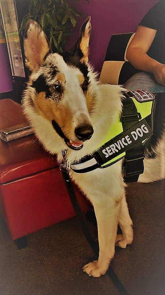 River, a harlequin blue merle (different patches and spots of color in black, grey, tan, and white) Smooth Collie wearing a service dog vest.