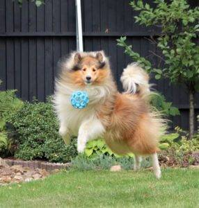 A sable and white Collie bouncing higher than his ball.