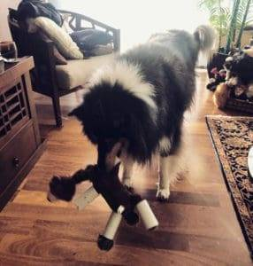 Wiley, a tricolor Collie, playing with a soft toy now that it is wearing toilet paper rolls on its legs.