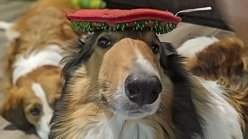 You are currently viewing Our Top 20 Recommended Toys for Collies