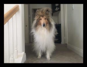 A Rough Collie with a lot of hair standing straight up on his forehead.