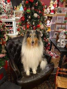 Blue merle Collie seated in an armchair, posed in front of a Christmas tree.
