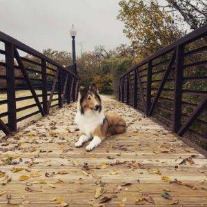 A sable and white Rough Collie lying on a wooden bridge surrounded by fallen leaves.