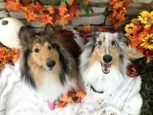 A sable and white and blue merle Collie pose amid autumn leaves