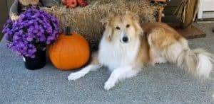 A golden Collie lying in front of a straw bale, posing beside pumpkins, gourds, and fall mums flowers