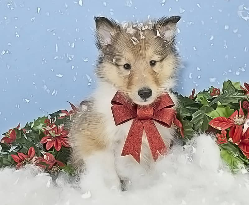 Christmas Collie Puppy
