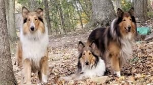 Three Sable and white Collies outside among fallen leaves.