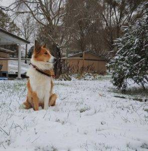 A sable and white Scottish Collie sits outside in the snow, wearing a bandana