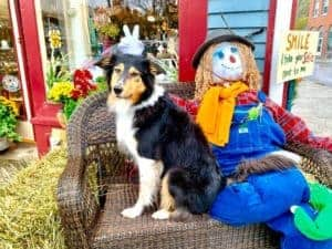 Tricolor Collie sitting on a bench posing beside a scarecrow