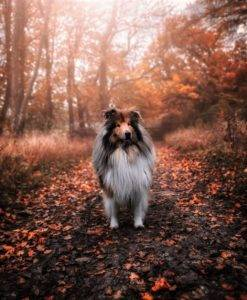 A full-coated sable and white Collie stands amidst fallen autumn leaves in a forest