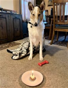 Tag sits on the carpet with a new blanket, bone, and his own cupcake - even lit with a candle! - while he waits for his release command to indulge