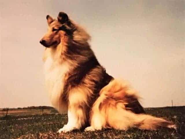 A beautiful sable Collie seated outside with her fur blowing in the wind.