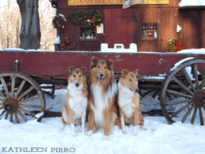 2 Smooth Collies and 1 Rough Collie (all sables) seated in front of an old, rustic red wagon.