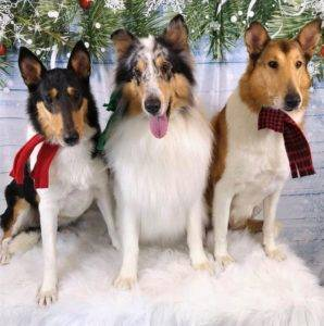 Tricolor Smooth Collie, blue merle Rough Collie, and sable Smooth Collie all sitting in a row wearing holdiay scarves.