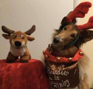 A sable and white Collie wearing reindeer antlers and a vest that says