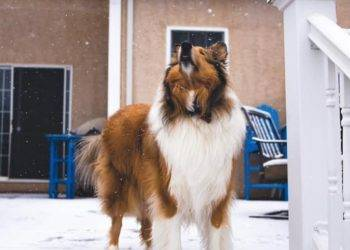 A sable and white Rough Collie stands on a snowy porch barking