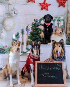 Holiday photo op with one black Lab mix amongst 2 Rough Collies and 2 Smooth Collies.